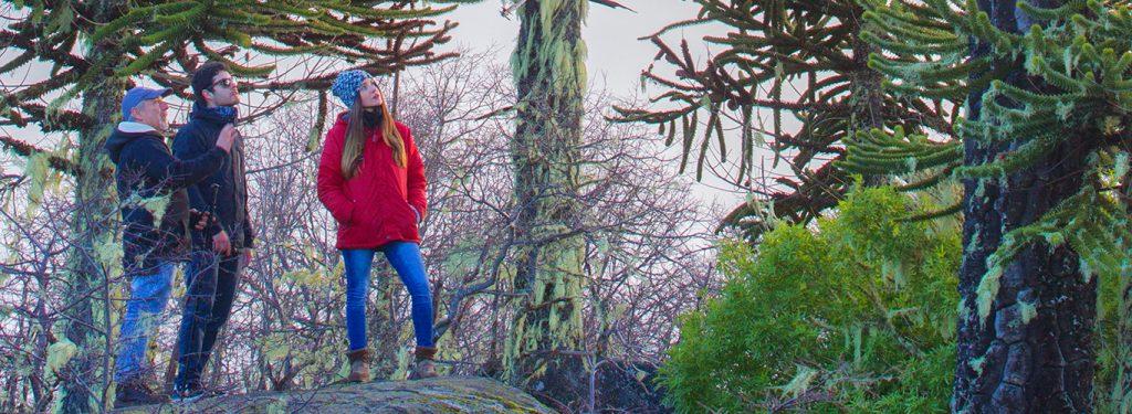 Araucaria Milenaria, un tesoro vivo ancestral